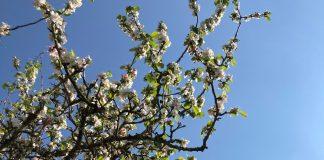 sakura tasty life magazine cerisier en fleurs